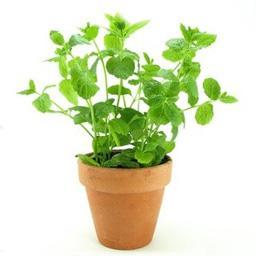 Menthe, plante en pot