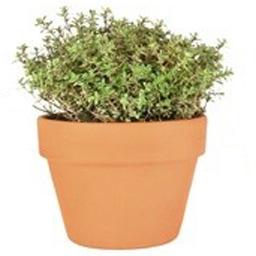 Thym, plante en pot